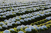 France, Normandy, Manche, growing salad under a plastic bell to get a yellow white coloration