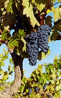 Vine with ripe grapes  Lanciego  Rioja alavesa wine route  Alava  Basque country  Spain