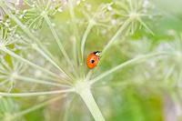 Ladybird climbing up an umbellifore stem