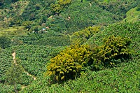 Cultivations in Jardin, Southwestern Antioquia, Antioquia, Colombia