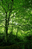 Beech green magic forest woods