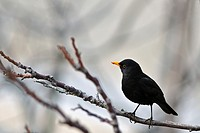 A male Blackbird Turdus merula, Crete