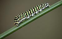 Swallowtail - Papilio machaon larva