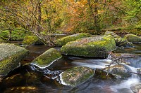 The East Dart River flowing through woodland at Dartmeet in Dartmoor National Park, Devon, England, UK, Europe