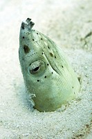 Burrowing snake eel - Pisodonophis cancrivoris in its burrow in the sand  These snake-like fish hunt octopus and other cephalopods, and crustaceans at...