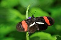 Small postman Heliconius erato, Niagara Butterfly Conservatory, Niagara Falls, Ontario, Canada