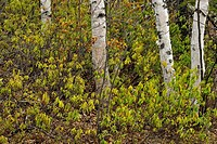 Birch tree trunks and sheep laurel Kalmia, Greater Sudbury Lively, Ontario, Canada