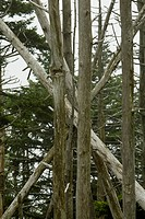 Dead Fraser Firs, Clingmans Dome, Great Smoky Mtns NP