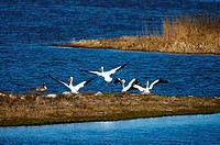 White Pelicans take flight from a resting point in the lake