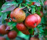 A bunch of red Fiesta apples on a fruit tree