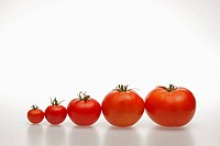 A row of tomatoes increasing in size from smallest to largest
