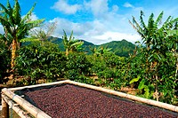 Coffee plantation in Panama, Central America