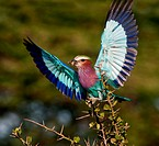 Lilac_breasted Roller with catch.