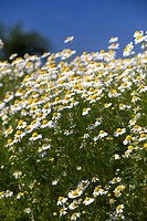 Chamomile (Matricaria chamomilla), in full bloom
