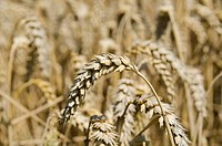 Ears of grain in a field of Wheat Triticum, Hallertau area, Mainburg, Bavaria, Germany, Europe