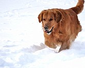 Golden retriever in the snow. Happy dog
