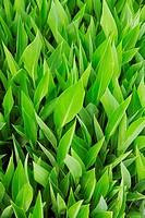green juicy leaves