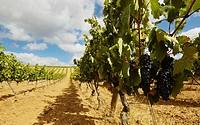 Rows of vines in a vineyard  Lanciego  Rioja alavesa wine route  Alava  Basque country  Spain