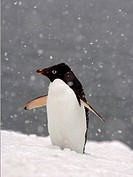 Adelie Penguin in Falling Snow