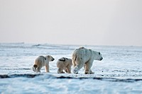A skinny polar bear Ursus maritimus sow with a pair of 2_year_old cubs walk along a barrier island in search of food, Bernard Spit, off the 1002 area ...