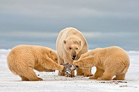 Polar Bear Sow With Spring Cubs Fighting Over a Piece of Whale Meat