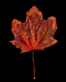Brown maple leaf Acer saccharum with spotty mold on a black background.