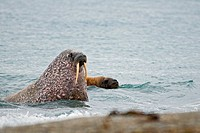 A bull walrus Odobenus rosmarus emerges from the sea and approaches a beach to take a rest, Poolepynten, along the coast of Svalbard, Norway, in summe...