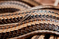 Newly Hatched Striped House Snake