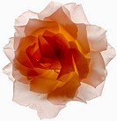 Translucent Pink and Orange Rose on White Background