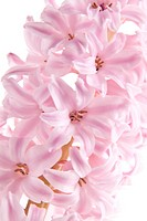Pink hyacinth hyacinthus orientalis close up