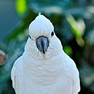 Head of the white cockatoo.