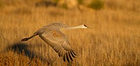 Sandhill Crane, Grus canadensis, New Mexico, USA