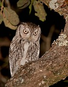 Eastern Screech_Owl, Megascops asio, Florida, USA