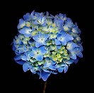 A blue flowered hydrangea.