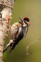 Red_naped Sapsucker, Sphyrapicus nuchalis, Okanagan, BC, Canada