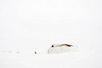 White Tailed Jack_Rabbit, lepus townsendii, sitting in the snow, Edmonton, Alberta, Canada