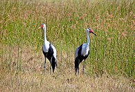 Wattled Cranes, bugeranus carunculatus, Okavango Delta, Moremi Game Reserve, Botswana, Africa