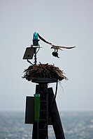 Osprey Building a Nest Atop a Navigational Light