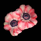 Pink and white anemones seen from above on a black background.