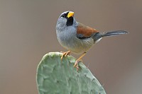 Great Inca_Finch Incaspiza pulchra perched on a cactus in Peru.