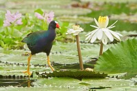 Purple Gallinule Porphyrula martinica in a march in Costa Rica.