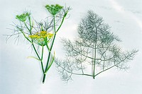 Flowers und leaves of fennel