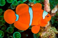 Spinecheek Anemonefish or Clownfish