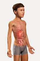 Digital illustration of a pre_adolescent male child with the organs of the digestive system visible within the abdomen.