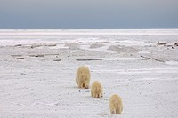 Polar Bear Sow and Cubs Travel Along a Barrier Island Looking for Food