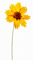 Yellow Coreopsis on Translucent White Background