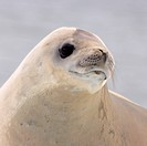Head of Crabeater Seal