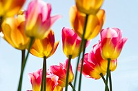 Tulips, Mainau Island, Lake Constance, Baden_Wuerttemberg, Germany, Europe