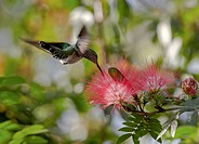 Flying hummingbird at a mimosa blossom, Guanacaste, Costa Rica, Central America, America