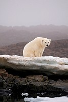 A large polar bear Ursus maritimus boar rests on a rock island off the coast of Svalbard, Norway, in summertime.